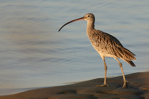 EasternCurlew